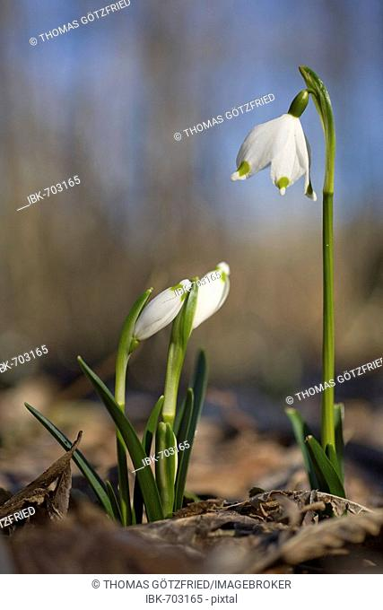 Spring Snowflakes (Leucojum vernum) growing in a riparian forest