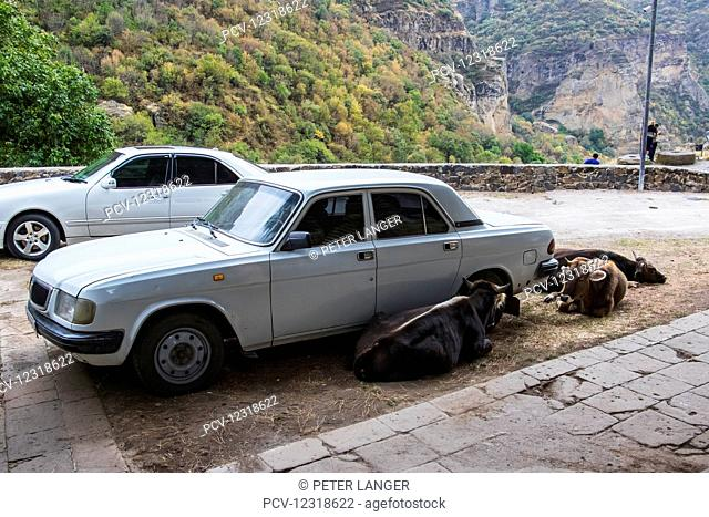 Cows laying next to a Volga car; Garni, Azat Valley, Armenia