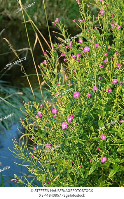 Great hairy willow herb Epilobium hirsutum