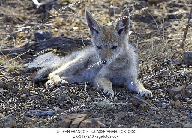 Black-backed jackal (Canis mesomelas), cub, lying on arid ground, alert, Kruger National Park, South Africa, Africa