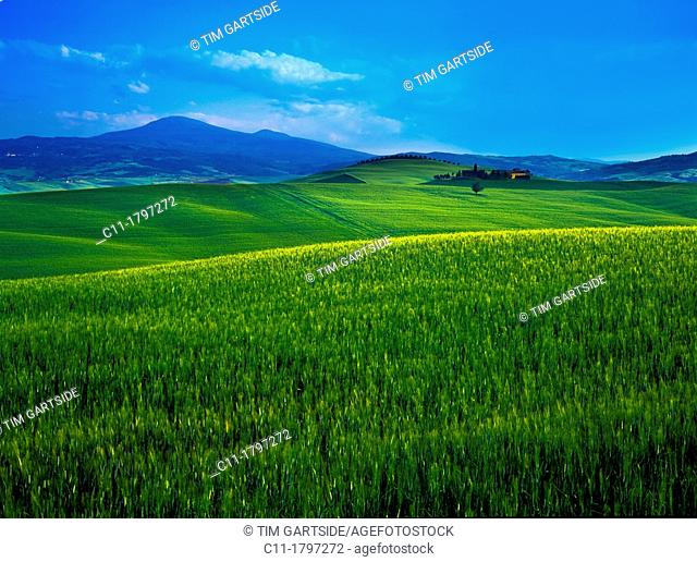 green wheat in field, montepulciano, tuscany, italy,europe