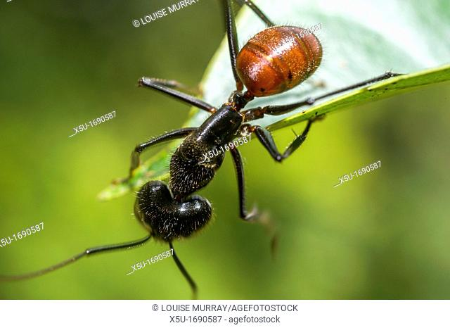 Giant forest ant foraging - Componatus gigas
