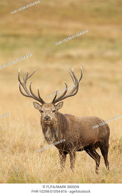 Red Deer (Cervus elaphus) mature stag, standing in grass during rutting season, Bradgate Park, Leicestershire, England, October