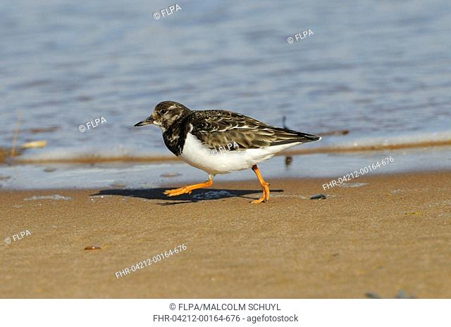 Ruddy Turnstone Arenaria interpres adult, winter plumage, walking on beach tideline, Aberdeenshire, Scotland