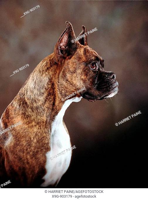 Boxer in profile