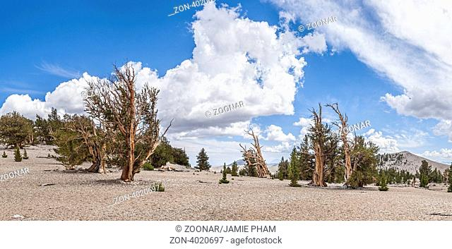 The Ancient Bristlecone Pine Forest is high in the White Mountains in Inyo County in eastern California. The Bristlecone Pine Pinus longaeva trees grow between...