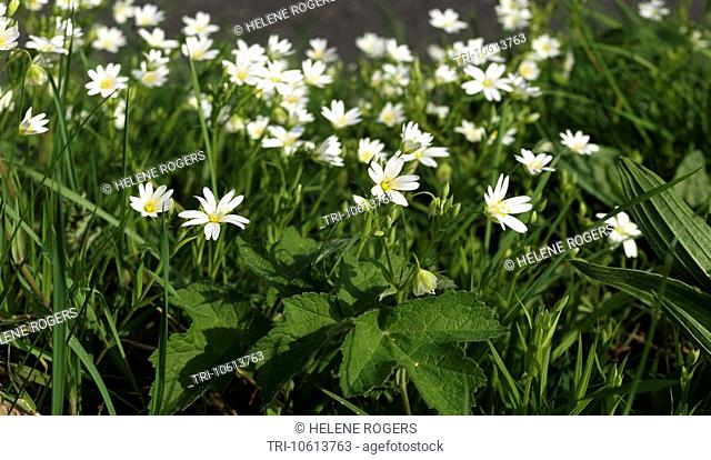 Wooton Surrey Stellaria holostea Greater Stitchwort Flowering in April
