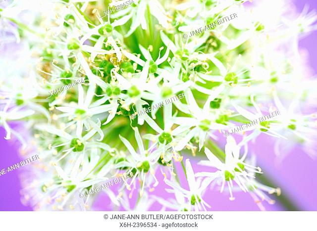 beautiful mount everest allium in a soft contemporary style
