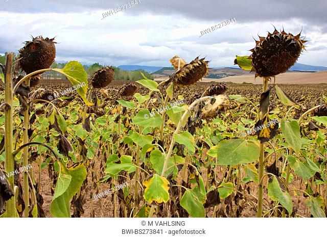 withered sunflower field, Spain, Basque country, Navarra