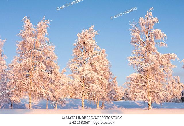 Three birch trees in winter season with snow on the branches, warm red light is shining on them, Gällivare, Swedish Lapland, Sweden