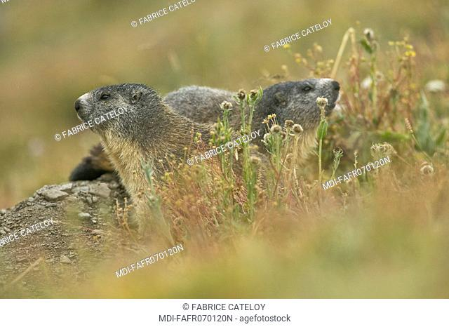 Couple of marmots at the entry of their burrow in the natural regional park of Queyras