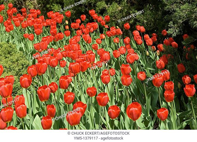 Red spring tulips