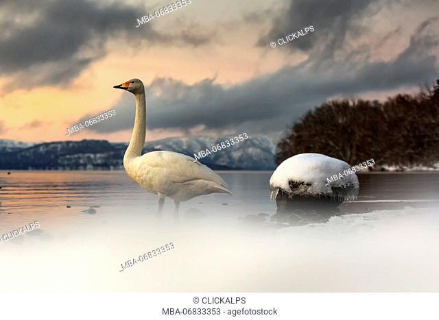 Whooper swans in Lake Kussharo, Hokkaido, Japan