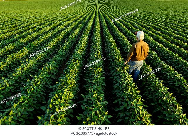 Agriculture - A farmer looks out across his mid-season soybean field in early summer / Iowa, USA