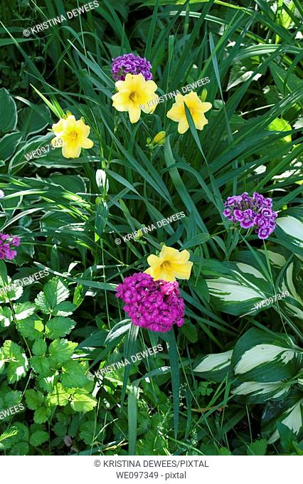 A combination of the Daylily Stella D'Oro, Hostas, Sweet William and Astilbe foliage