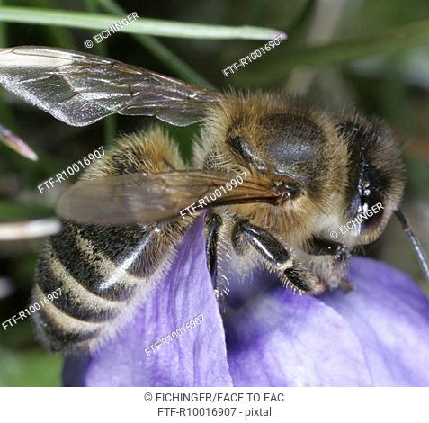 Close up of a honeybee sitting on a lavender colored flower petal