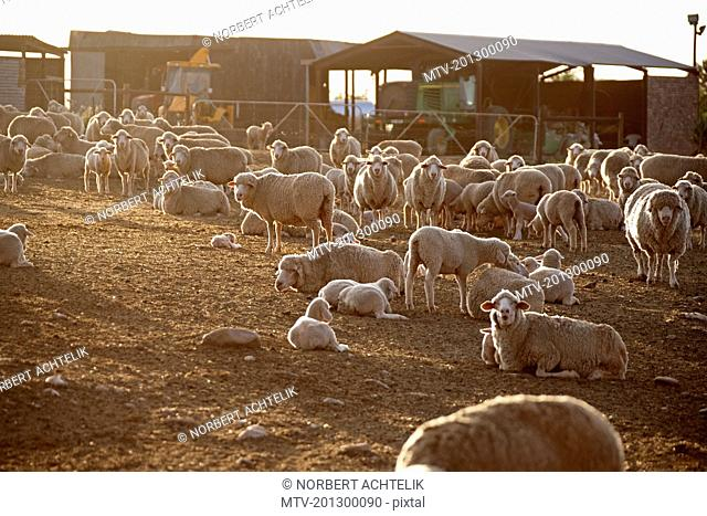 Flock of sheep (Ovis aries) in animal pen , South Africa