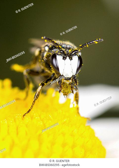 plasterer bee, polyester bee (Hylaeus nigritus), Hylaeus bee male with a drop in the mouth on ox-eye daisy flower, Germany