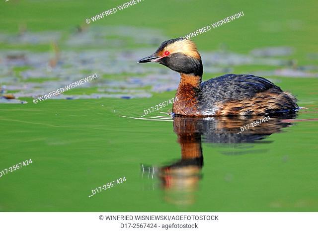 Swimming slavonian grebe (Podiceps auritus). Sweden