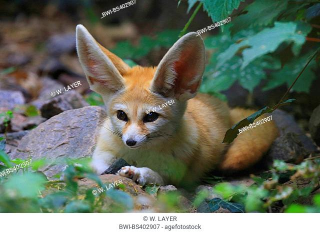 fennec fox (Fennecus zerda, Vulpes zerda), in outdoor enclosure