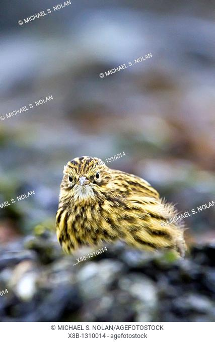 Adult South Georgia Pipit Anthus antarcticus feeding at low tide on Prion Island, Bay of Isles, South Georgia, Southern Ocean  MORE INFO The South Georgia pipit...