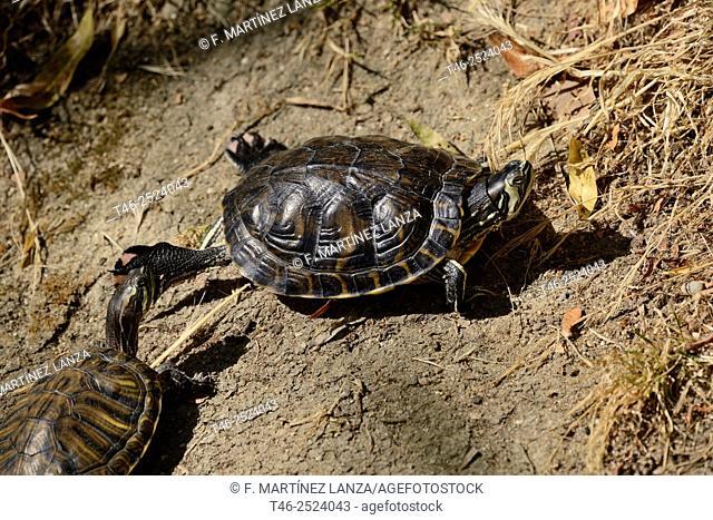 Spanish pond turtle Mauremys leprosa. Polvoranca Park, Madrid Province, Spain