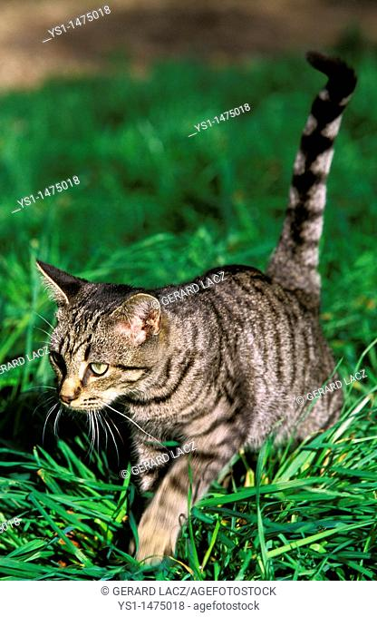 Silver Tabby Domestic Cat, Adult standing on Grass