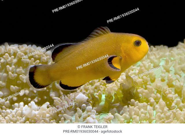 Ocellaris Clownfish, Amphiprion ocellaris / Falscher Clownfisch, Amphiprion ocellaris