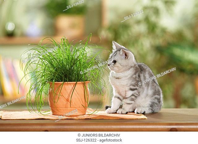 British Shorthair kitten next to cats' grass restrictions:Tierratgeber-Bücher / animal guidebooks