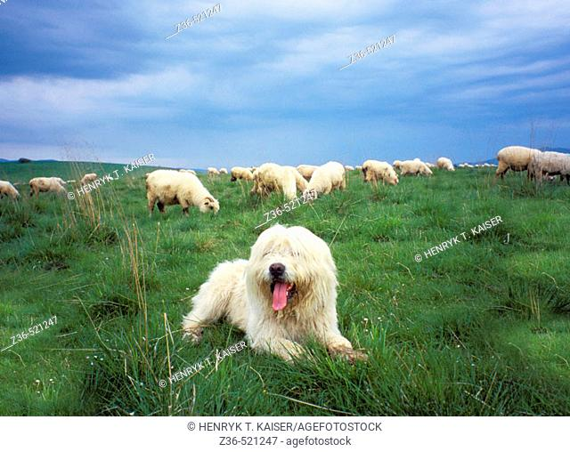 Sheepdog guards sheeps in Tatras Mt Poland