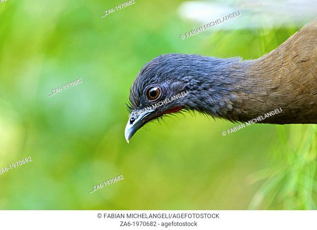 Rufous-vented Chachalaca (Ortalis ruficauda) in in the cloud forest near Caracas, Venezuela