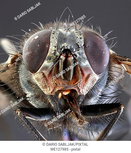 Musca Domestica Low Scale Magnification