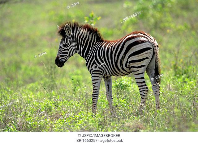 Plains Zebra, Burchell's Zebra (Equus quagga), young, Kruger National Park, South Africa, Africa