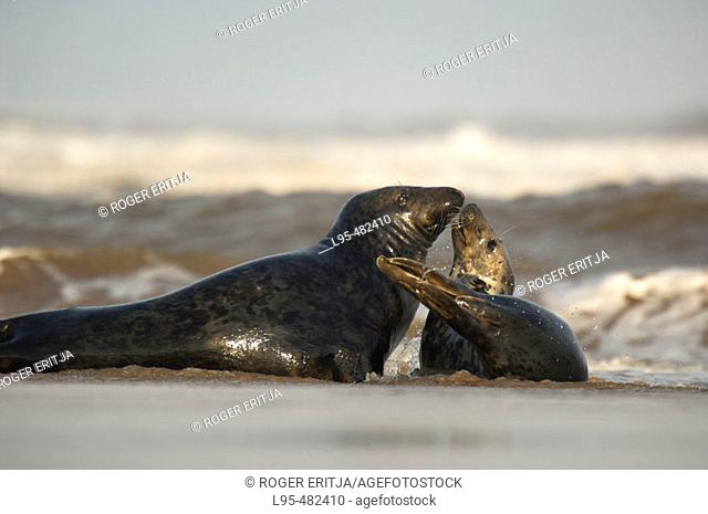 Grey Seal (Halichoerus grypus), couple mating on beach, Donna Nook National Nature Reserve, England. UK
