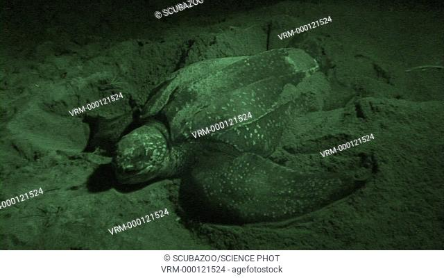 Leatherback Turtles Nesting at Night, Lae, Papua New Guinea