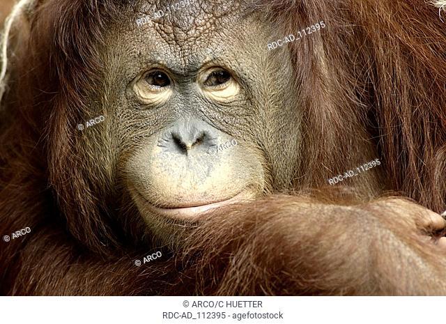 Borneo Orang-utan female Pongo pygmaeus pygmaeus