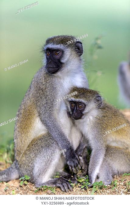Vervet mother with youngster in Great Rift Valley, Kenya