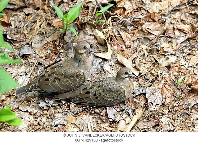 Two Mourning Dove fledglings, Zenaida macroura, huddling together amid dead leaves waiting for the return of their parents  Passaic, New Jersey, USA