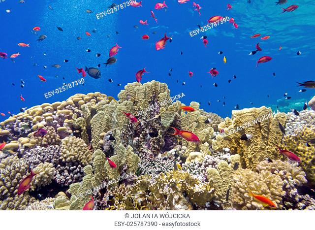 colorful coral reef with fire corals and fishes anthias at the bottom of tropical sea on blue water background