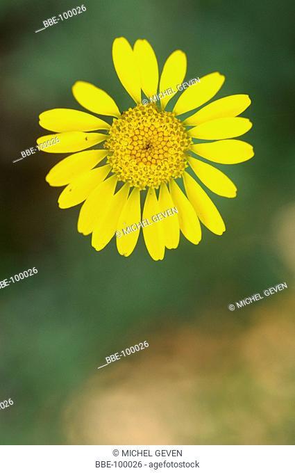downside viewon a flower of Golden Marguerite
