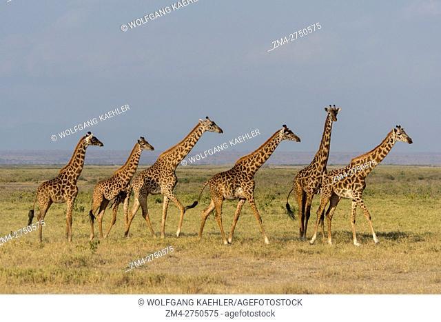 A tower (herd) of Masai giraffes (Giraffa camelopardalis tippelskirchi) in Amboseli National Park, Kenya