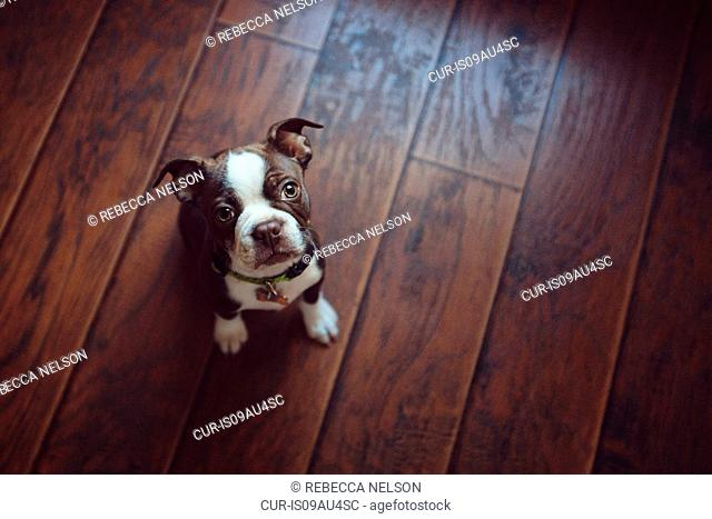 High angle view of Boston Terrier puppy sitting on wooden floor looking up at camera