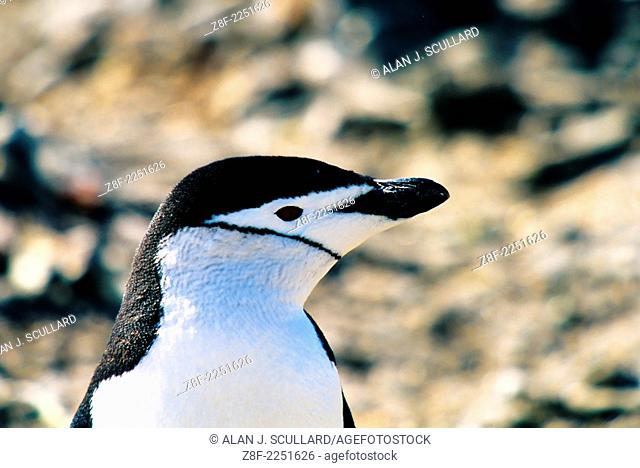 Chinstrap penguin at Hannah Point, Antarctica