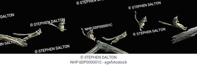 LESSER BUSH BABY Galago senegalensis leaping multiflash image Image carries 50 surcharge