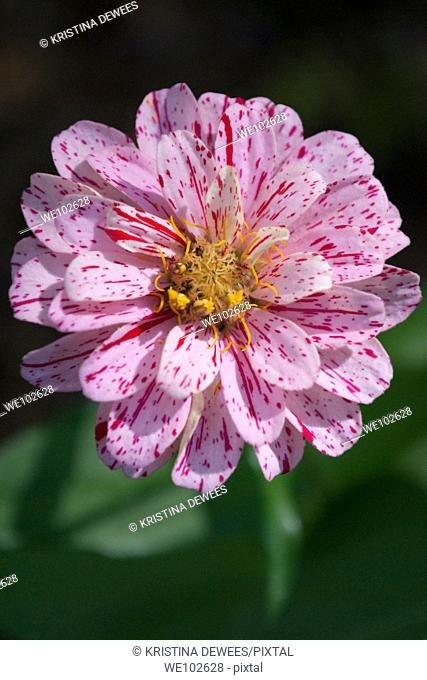 A rare pink Candy Cane Zinnia