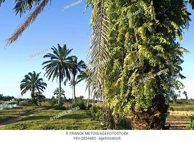 Ferns growing on the trunk of a palm tree at Mananjary ( Madagascar)