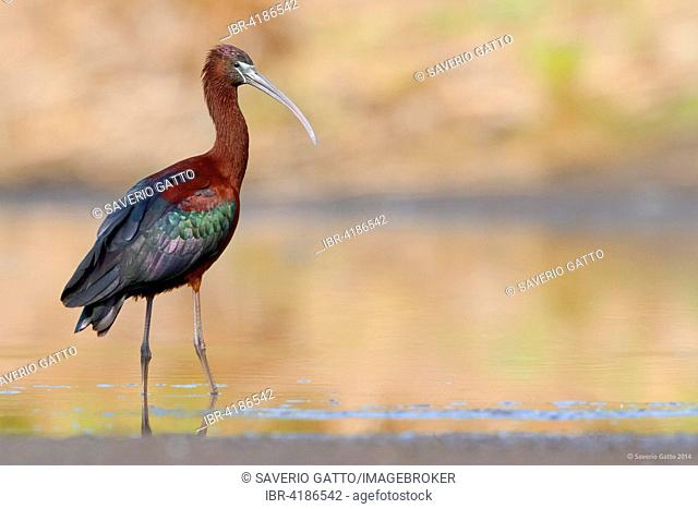 Glossy Ibis (Plegadis falcinellus), adult standing with; Campania, Italy