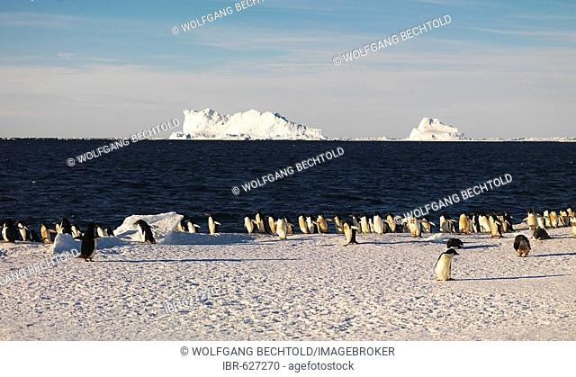Adélie Penguins (Pygoscelis adeliae) with icebergs in the background, Franklin Island, Antarctica