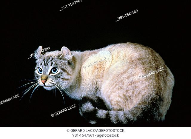 American Curl Domestic Cat, Adult against Black Background