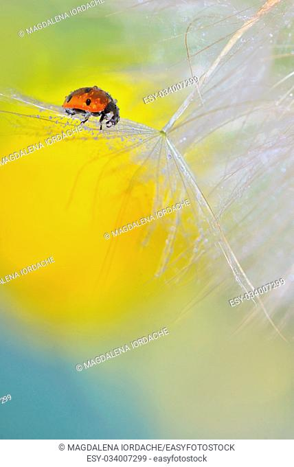 ladybug on dandelion and dew drops